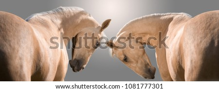Portrait of two palomino horses isolated on gray background #1081777301