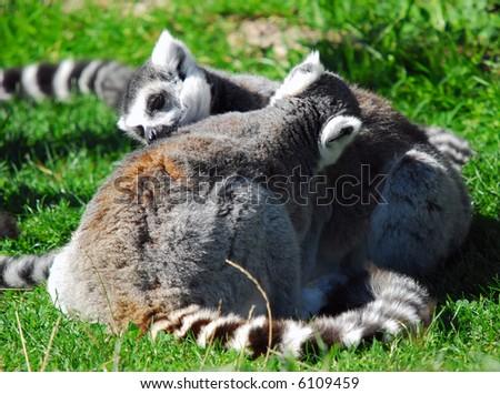 Portrait of two Ring-tailed Lemurs (Lemur catta)