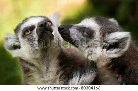 portrait of two ring tailed lemurs (Lemur catta)