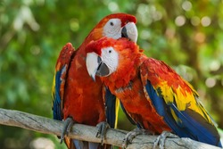 Portrait of two scarlet macaws perched on a tree branch against a colorful green bokeh background.