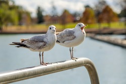 Portrait of two seagulls, Central Park in Fremont