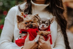 Portrait of two small dogs in red Christmas sweaters at the woman's hands.