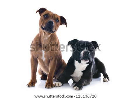portrait of two  staffordshire bull terrier in front of white background