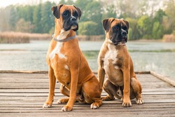 Portrait of two very smart and playful boxers