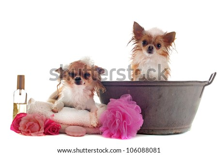 portrait of two wet purebred  chihuahuas in front of white background