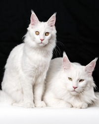 Portrait of two white American Longhair Cats on black and white background. One domestic cat is sitting, other cat - lying.
