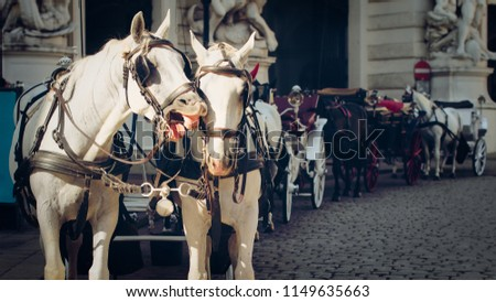 Portrait of two white horses. Vienna, Austria, traditional two-horse carriage