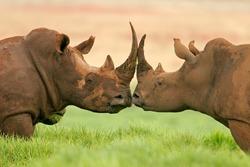 Portrait of two white (square-lipped) rhinoceros (Ceratotherium simum), South Africa