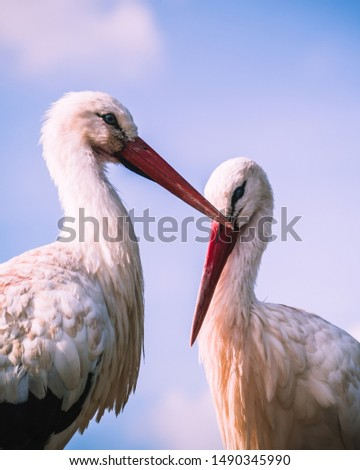 Portrait of two white storks cuddling, Storks are large, long-legged, long-necked wading birds with long, stout bills. They belong to the family called Ciconiidae, and make up the order Ciconiiformes. #1490345990