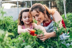Portrait of two young girls working in their organic garden picking red tomatoes from the plants. The healthy food. Concept of health.
