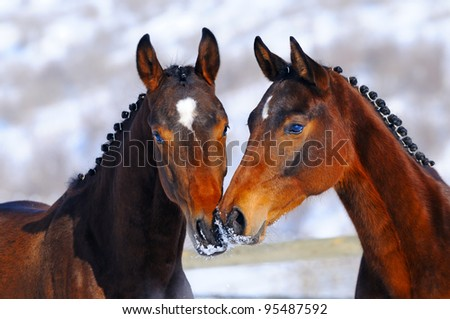 Portrait of two young horses in winter
