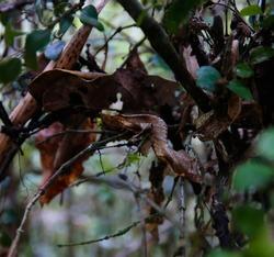 portrait of Uroplatus phantasticus, the satanic leaf-tailed gecko in Fianarantsoa, Ranomafana National Park, Madagascar