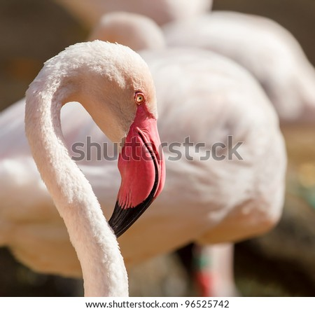 Portrait of very nice great flamingo with shallow focus