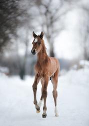 portrait of walking forward Akhal-Teke foal brown horse in winter
