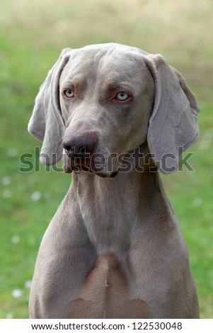 Portrait of Weimaraner Short-haired dog