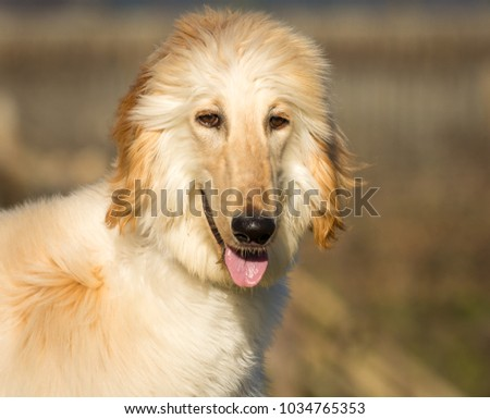 Portrait of white Afghan hound.The Afghan Hound is a hound that is distinguished by its thick, fine, silky coat.The breed was selectively bred for its unique features in the mountains of Afghanistan #1034765353