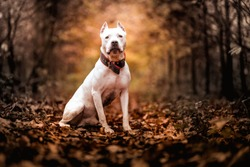 Portrait of white American pitbull terrier in outdoors in autumn forest