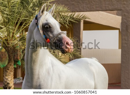Portrait of white arabian horse in united arab emirates