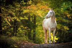 portrait of white arabian horse standing in forest. background of autumn colorful forest.