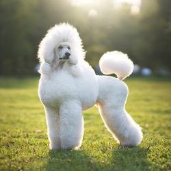Portrait of White Big Royal Poodle Dog. Outdoor