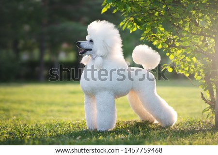 Photo of  Portrait of White Big Royal Poodle Dog. Outdoor