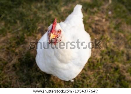 portrait of white broiler chicken (Gallus gallus domesticus) full body looking at the camera, free range chicken on chicken farm Foto stock ©