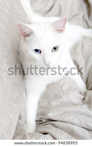 Portrait of white cat with different eyes. Blue and Green.