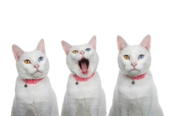 Portrait of 3 white cats with heterochromia, odd eyes, wearing a pink collars with bells. One looking to viewers right, one yawning and one looking directly at viewer with exasperated expression.