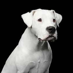 Portrait of White Dogo Argentino Dog Isolated on Black Background