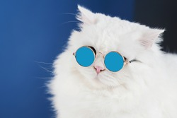 Portrait of white fluffy cat in fashion sunglasses. Studio photo. Luxurious domestic kitty in glasses poses on blue background wall.