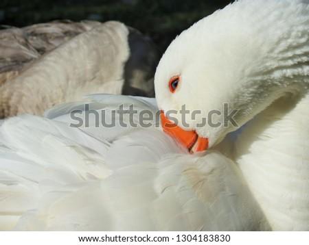 Portrait of white goose.