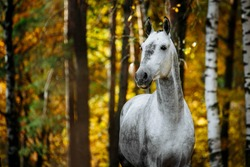 Portrait of white, grey horse stallion posing in autumn forest. Horizontal photo