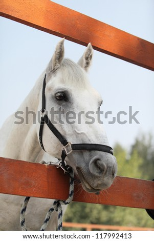 Portrait of white horse. Outdoors