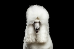 Portrait of White Royal Poodle Dog Looking in Camera Isolated on Black Background, front view