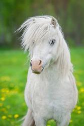 Portrait of white shetland pony with beautiful long mane