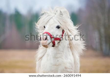 portrait of white shetland pony ...