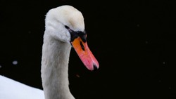Portrait of white swan with orange beak on black background. One whooping swan swims in the water. Magical landscape with wild bird (Cygnus olor). Copy space. Water drops on the swan's neck and head.