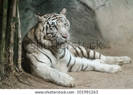 Portrait of white tiger #101981263