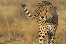 Portrait of wild cheetah patrolling