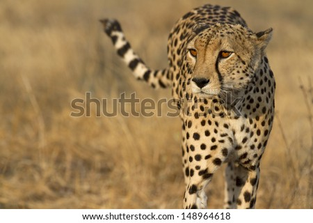Portrait of wild cheetah patrolling #148964618