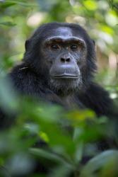 Portrait of wild chimpanzee in natural rainforest
