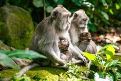 portrait of wild life, mother monkey feeding her child