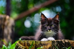 Portrait of wild looked black and white kitten sitting on a wooden log in garden. Cat looking at the front in a forest in daytime lighting