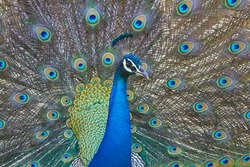 Portrait of wild peacock with a beautiful tail macro close up in the jungle
