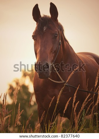 portrait of wonderful stallion at sunset