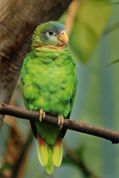 Portrait of yellow-billed amazon (Amazona collaria) also called Jamaican amazon. Green parrot perched on branch in tropical forest. Endemic parrot from Jamaica.