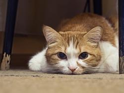 Portrait of yellow sad sick cat lying at home