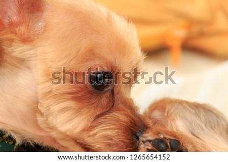 Portrait of Yorkshire Terrier #1265654152
