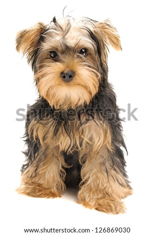 Portrait of yorkshire terrier isolated on white