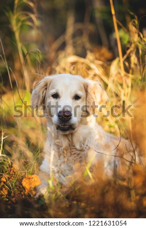 Portrait of young adorable and funny dog breed golden retriever lying in the bright autumn forest and smiling at sunset with backlight #1221631054